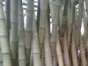 bamboopoles